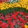 Beds of tulips in various colors. — Stock Photo