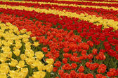Field of colorful tulips. Stripes of red, orange and yellow flow — Stock Photo