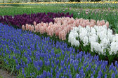 Hyacinths in different varieties in the garden. — Stock Photo