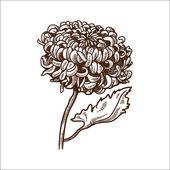 Chrysanthemum flower isolated on white. — Stock Vector