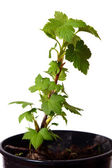 Spring branch of currant. — Stock Photo