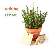 Thyme in a pot. — Stock Photo