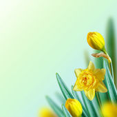 Narcissus background. — Stock Photo