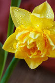 Narciso. — Foto Stock