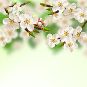 Spring apricot. — Stock Photo