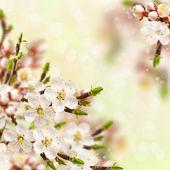Meruňkový květy. — Stock fotografie