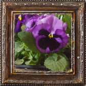 Pansy flowers. — Foto Stock