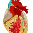 Abstract human heart - Stock Vector