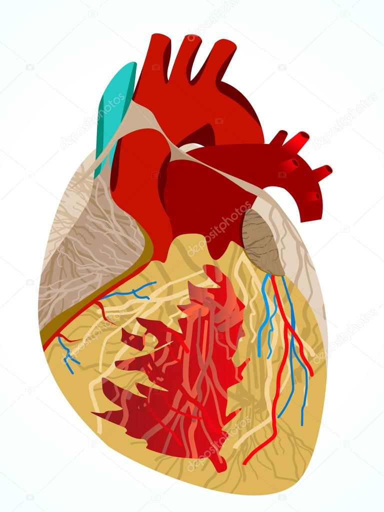 Human Heart Vector Image Abstract Human Heart Vector