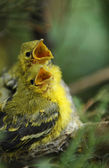 Hungry young bird on the nest — Stock Photo