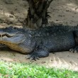 Rest crocodile — Stock Photo #38017935