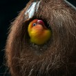 Stock Photo: Lovebird in nest