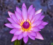 Fiore di ninfea — Foto Stock