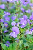 Close up purple flowers — Stock Photo
