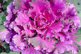Brassica oleracea — Stock Photo