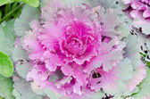 Decorative cabbage  — Stock Photo