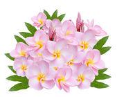 Pumeria,  on white background — Stock Photo