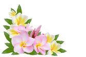 Pumeria  on white background — Stock Photo