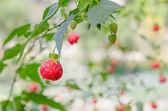 Red abutilon flowers — Stock Photo