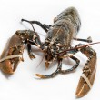Lobster — Stock Photo #16951403