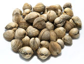 Fresh shells, common cockle — Stock Photo