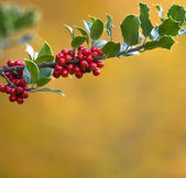 Holly Berries and Shiny Green Leaves — Stock Photo
