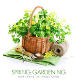 Spring yellow flowers in basket with garden tools — Stock Photo