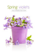 Spring flower violets with leaf in little bucket — Stock Photo