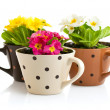 Spring flowers with green leaves in pot — Stock Photo