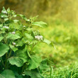 Green bush agrimony in grass — Stock Photo
