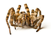 Close up of wolf spider on white background — Stock Photo