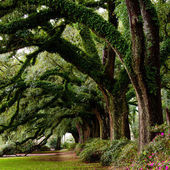 Line of ancient oak trees in park setting — Stock Photo