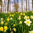 Stock Photo: Field of daffodils blooming in early spring