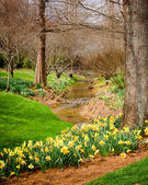 Daffodils blooming next to woodland creek — Stock Photo