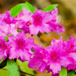 Pink azaleas blooming in spring - Stock Photo