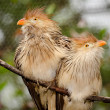 pair of guira cuckoo birds — Stock Photo