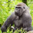 Lowland gorilla — Stock Photo #24732885