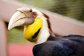 Close up portrait of wreathed hornbill — Stock Photo