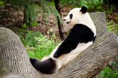Giant panda resting on log — Stock Photo