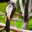 Guira cuckoo bird — Stock Photo