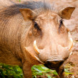 Portrait of warthog — Stock Photo #24882957