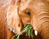 Close up portrait of elephant while feeding — Стоковое фото