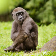 Young adolescent gorilla — Stock Photo