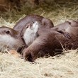 Asian small claw otters — Stock Photo
