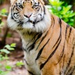 Portrait of tiger with humorous expression — Stock Photo