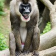 Portrait of male baboon - Stock Photo