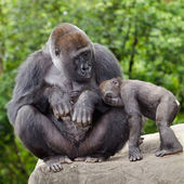 Female gorilla caring for young — Stock Photo