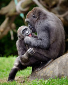 Young gorillas playing — Stock Photo