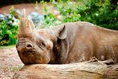 Black rhino resting its head on log — Stock Photo