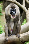 Portrait of male baboon — Stock Photo